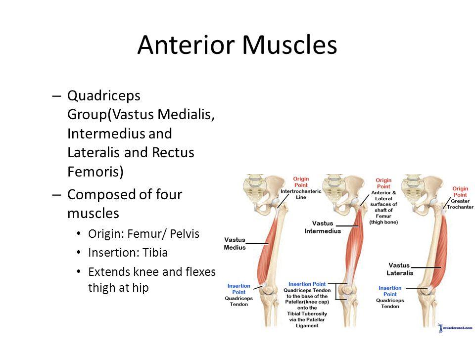 Anterior Muscles Quadriceps Group(Vastus Medialis, Intermedius and Lateralis and Rectus Femoris) Composed of four muscles.