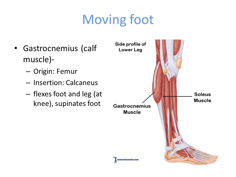 Gastrocnemius Muscle Origin And Insertion Bellwork Name as many ...