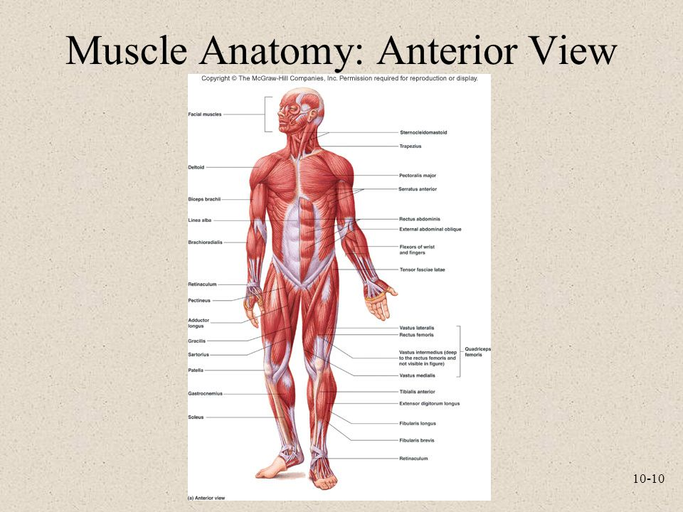 Muscle Anatomy: Anterior View