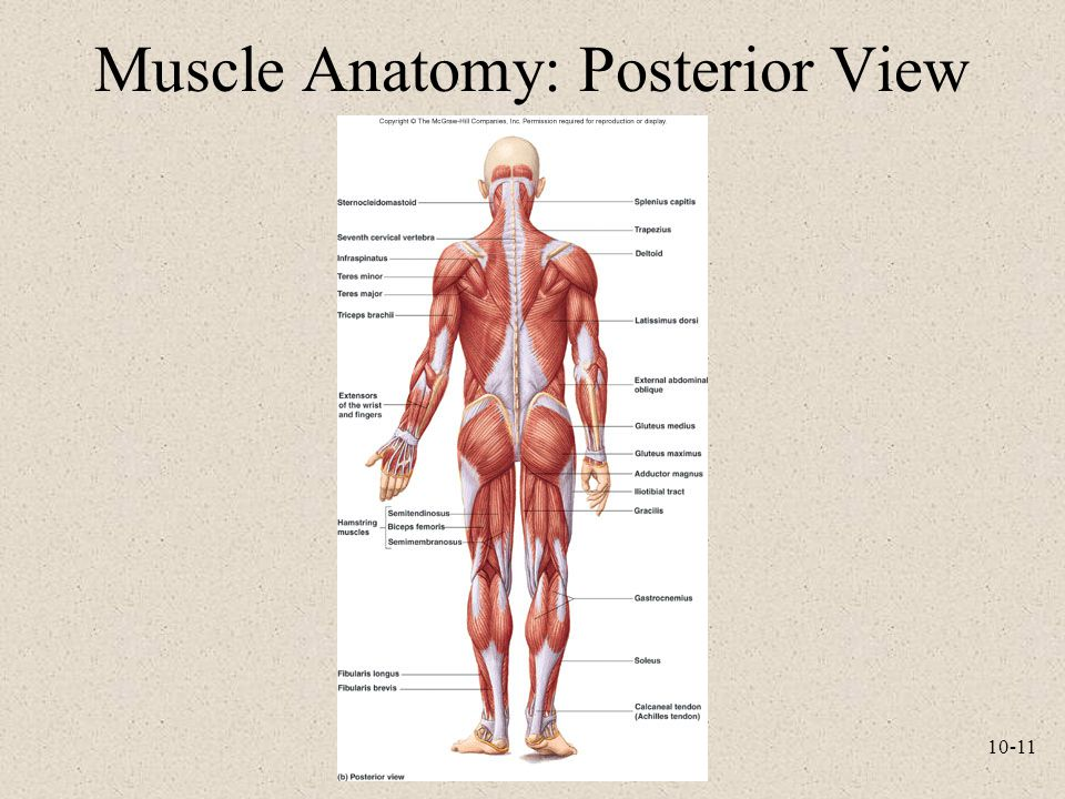 Muscle Anatomy: Posterior View