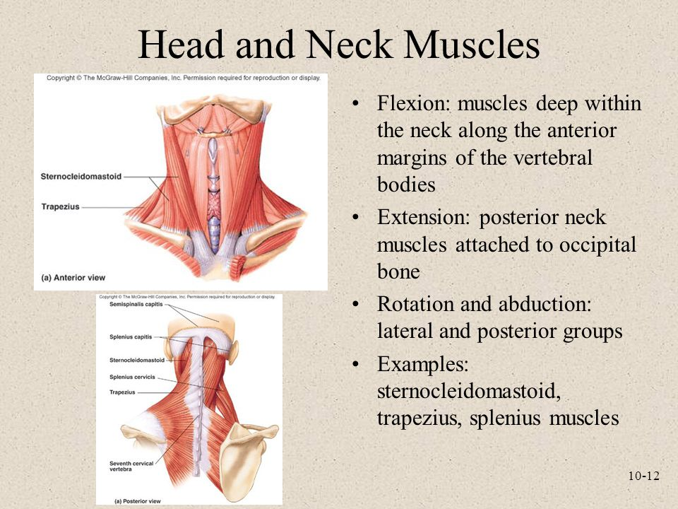 Head and Neck Muscles Flexion: muscles deep within the neck along the anterior margins of the vertebral bodies.