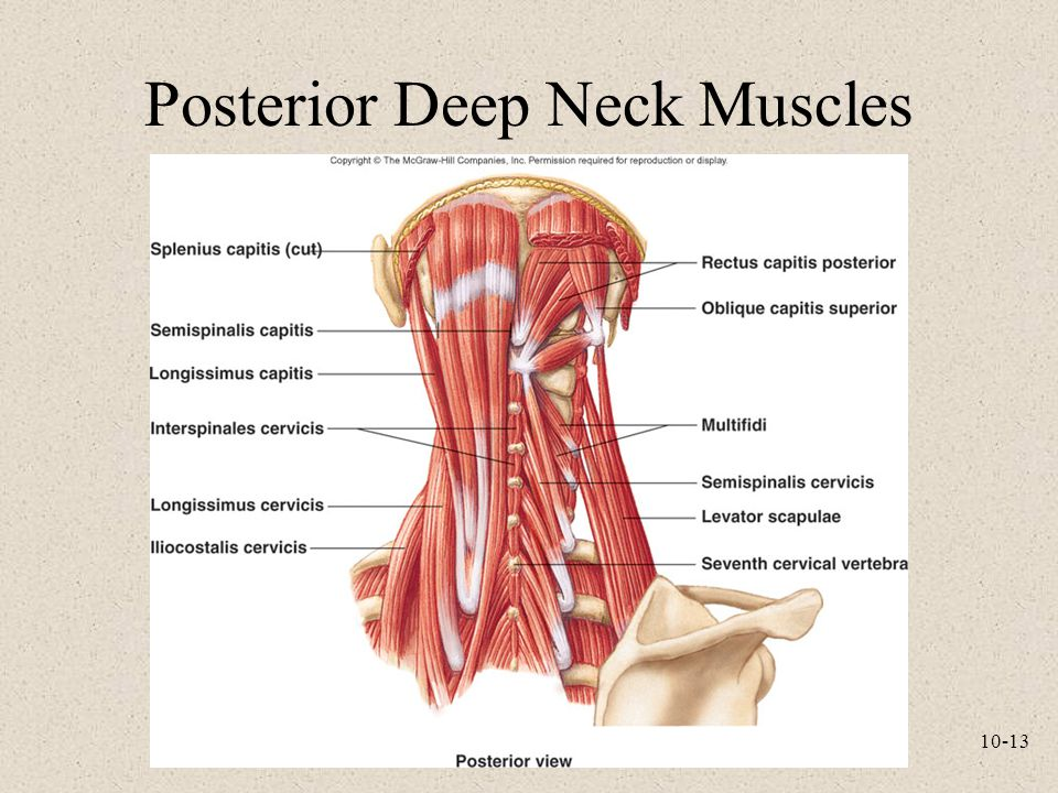 Posterior Deep Neck Muscles