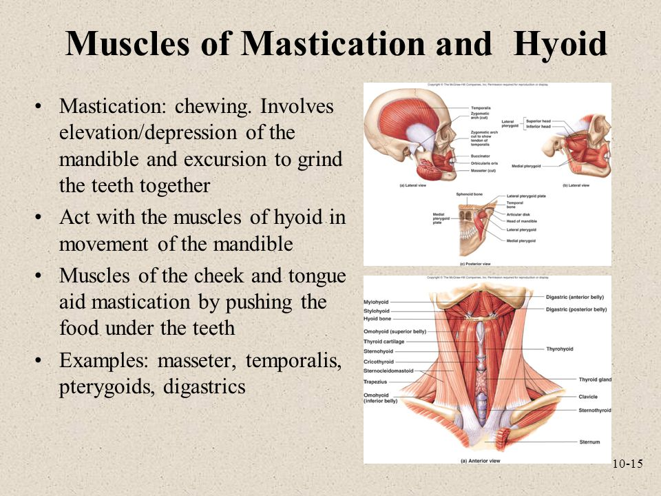 Muscles of Mastication and Hyoid
