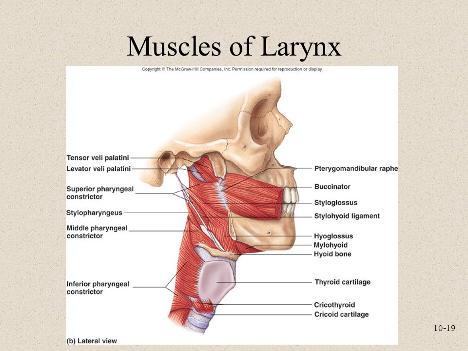 Muscles of Larynx