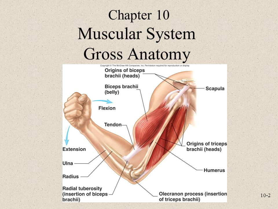 Gross anatomy of the muscular system Custom paper Academic Writing ...