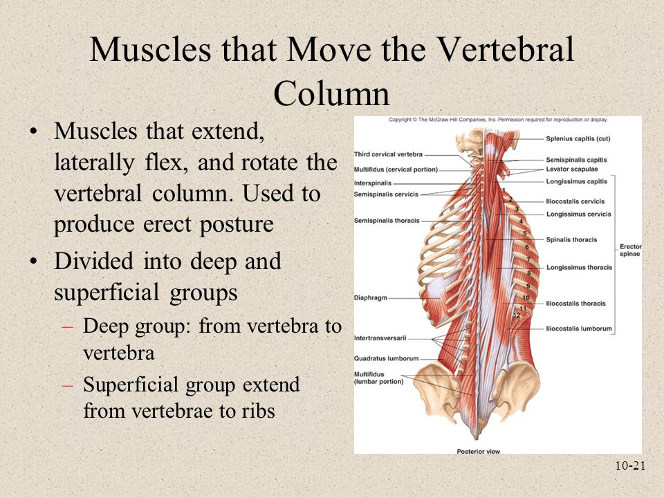 Muscles that Move the Vertebral Column