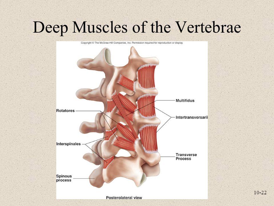 Deep Muscles of the Vertebrae
