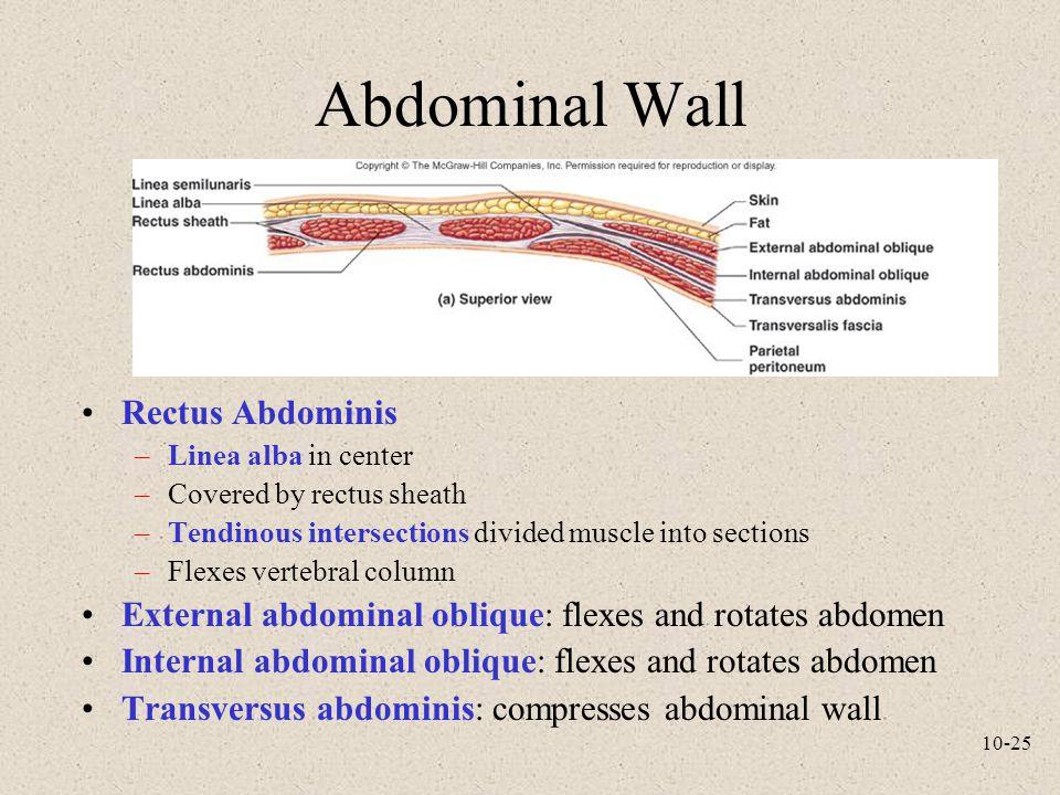 Abdominal Wall Rectus Abdominis
