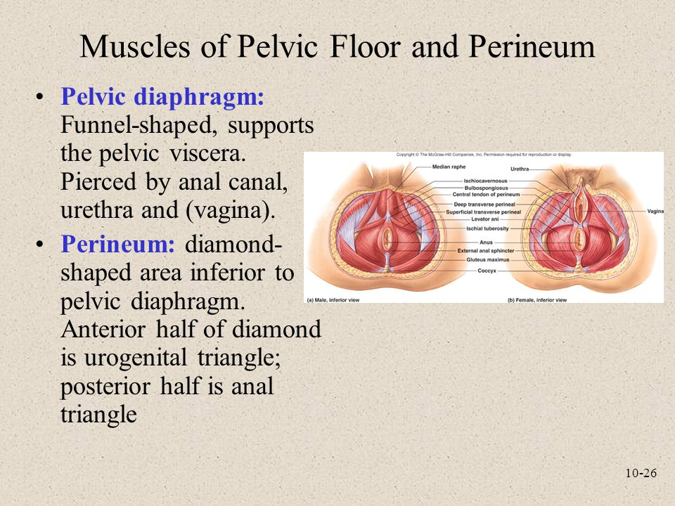 Muscles of Pelvic Floor and Perineum