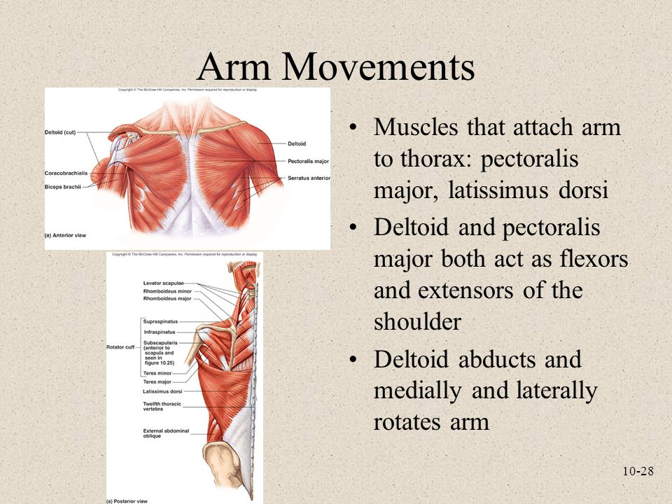 Arm Movements Muscles that attach arm to thorax: pectoralis major, latissimus dorsi.