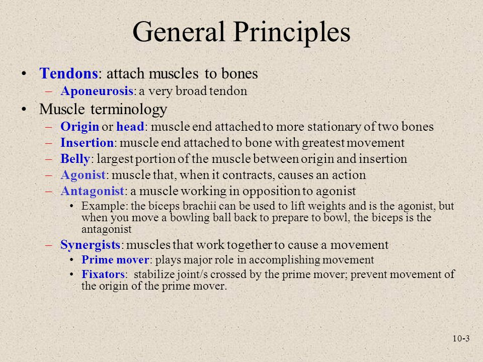 General Principles Tendons: attach muscles to bones Muscle terminology