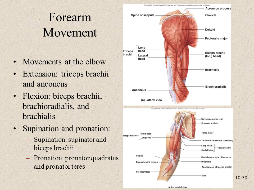 Forearm Movement Movements at the elbow