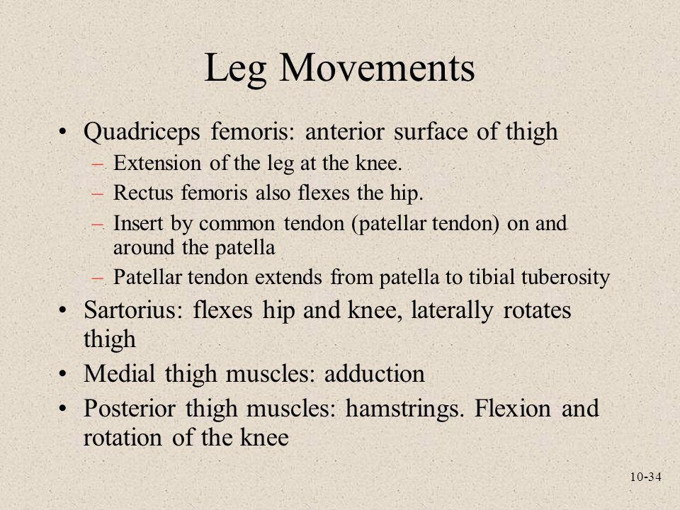 Leg Movements Quadriceps femoris: anterior surface of thigh