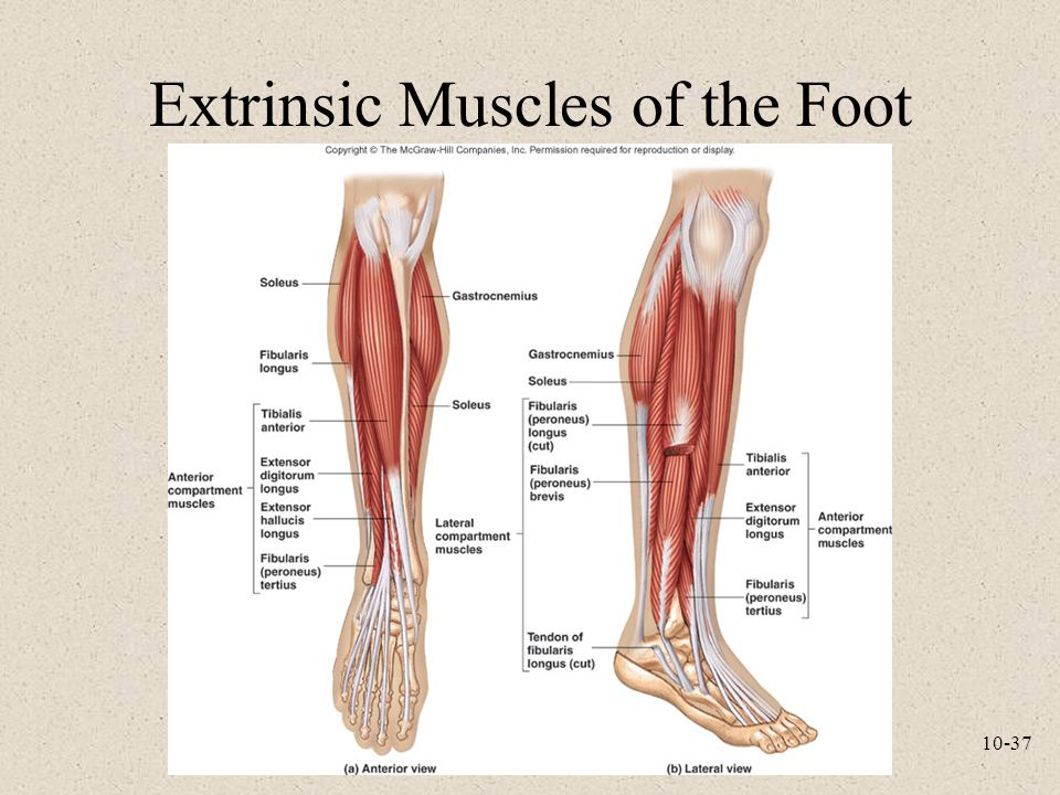 Extrinsic Muscles of the Foot