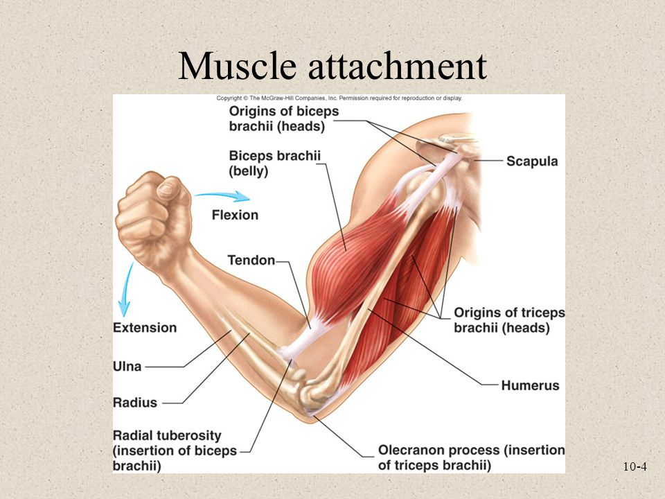 Muscle attachment
