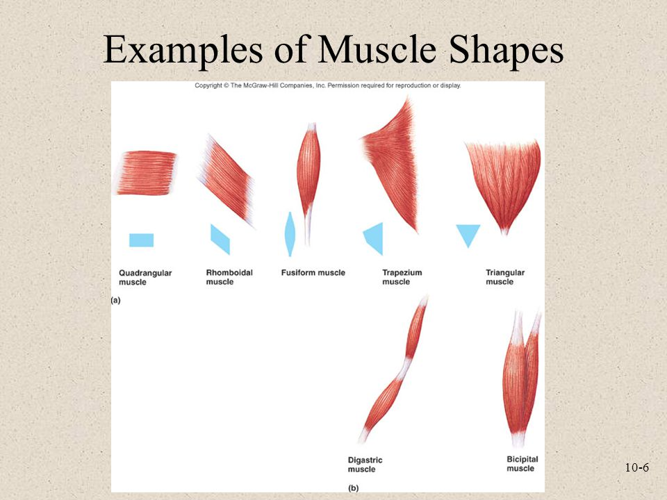 Examples of Muscle Shapes