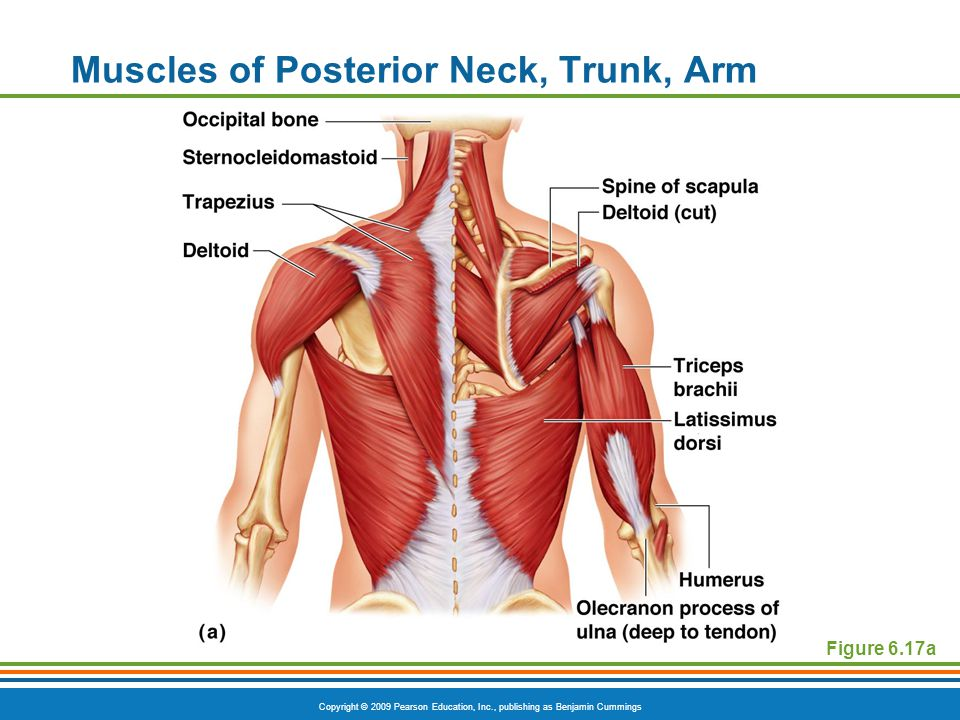 Muscles of Posterior Neck, Trunk, Arm