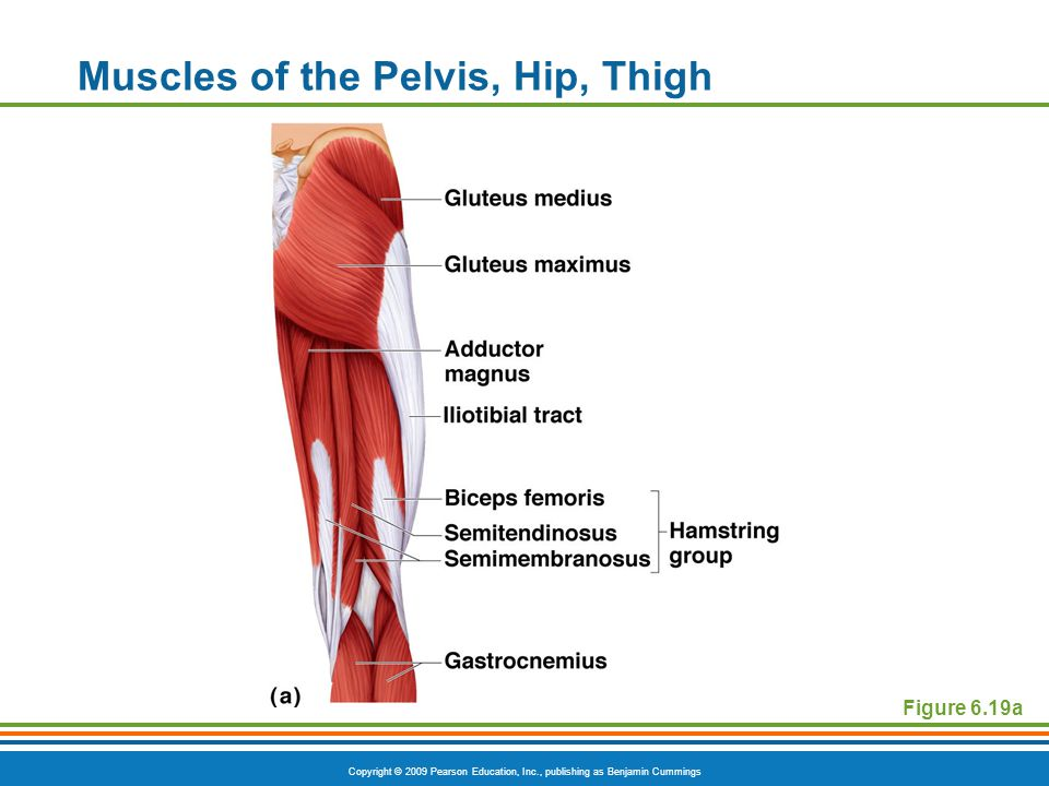 Muscles of the Pelvis, Hip, Thigh