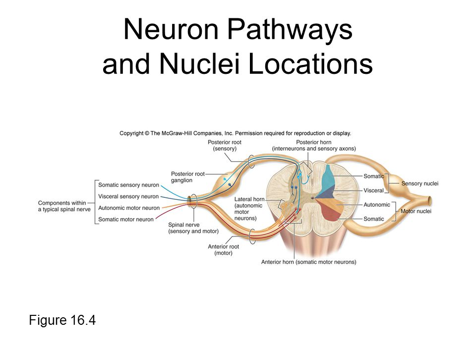 Neuron Pathways and Nuclei Locations