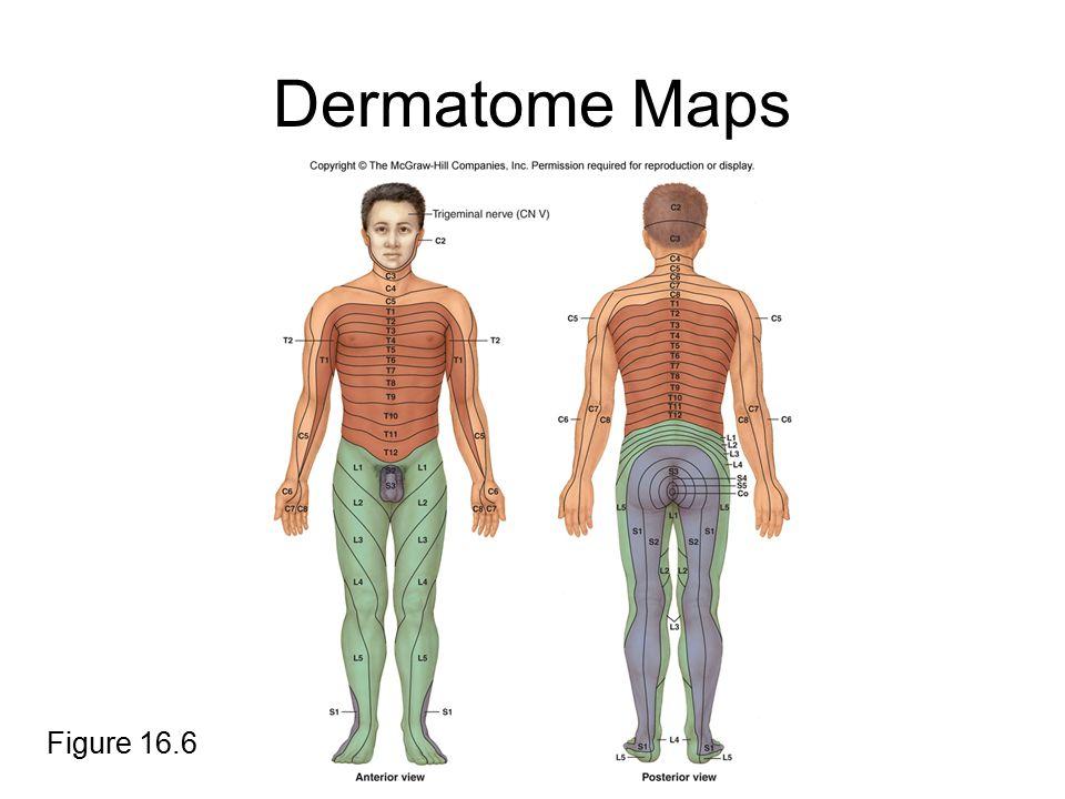 Dermatome Maps Figure 16.6
