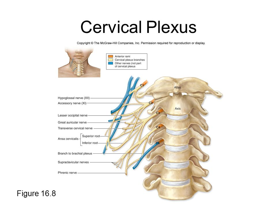 Cervical Plexus Figure 16.8