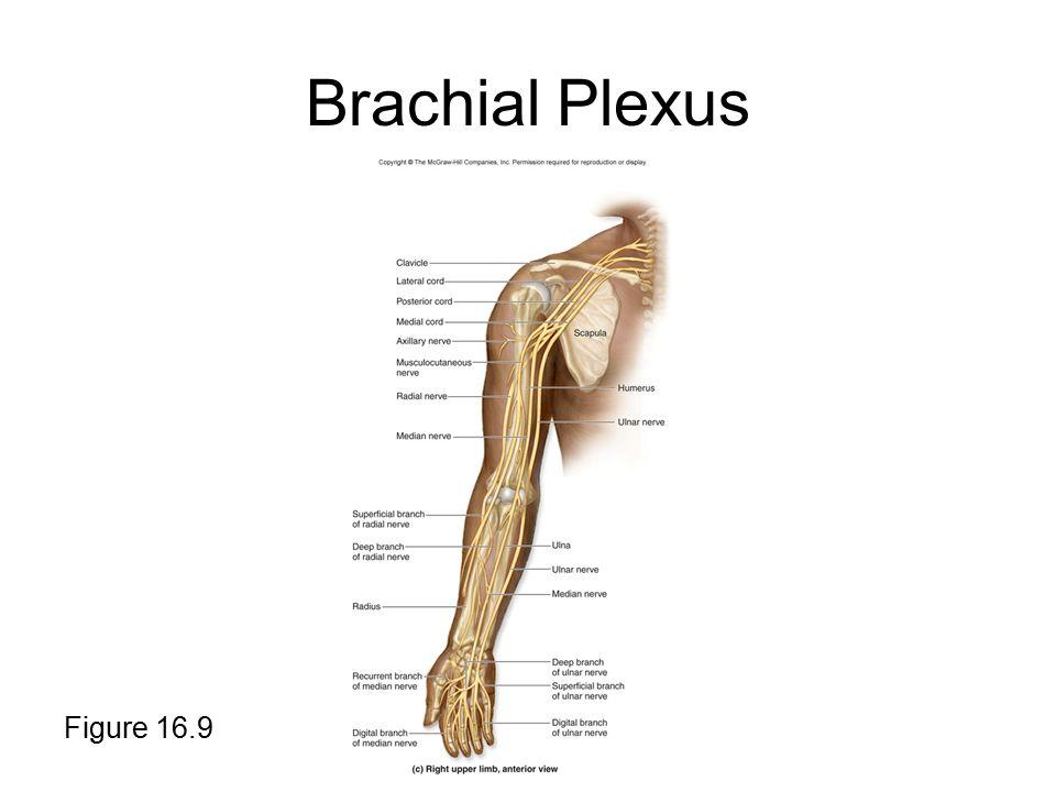 Brachial Plexus Figure 16.9