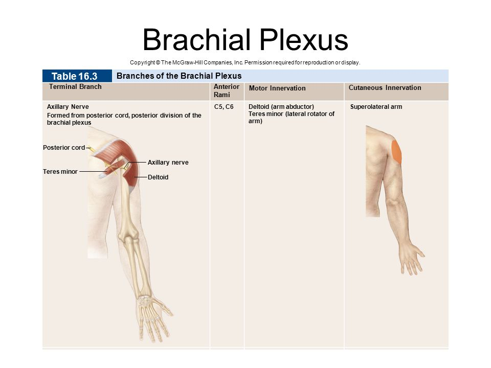 Brachial Plexus Table 16.3 Branches of the Brachial Plexus