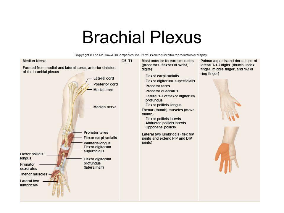 Brachial Plexus Median Nerve C5–T1 Most anterior forearm muscles