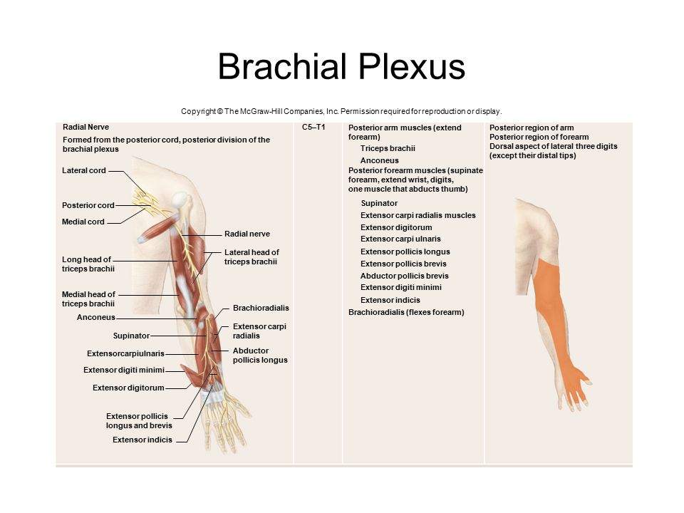 Brachial Plexus Copyright © The McGraw-Hill Companies, Inc. Permission required for reproduction or display.