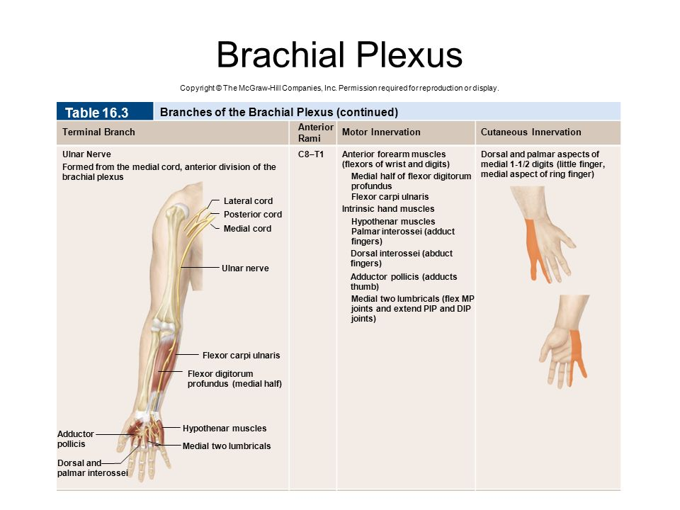 Brachial Plexus Table 16.3 Branches of the Brachial Plexus (continued)