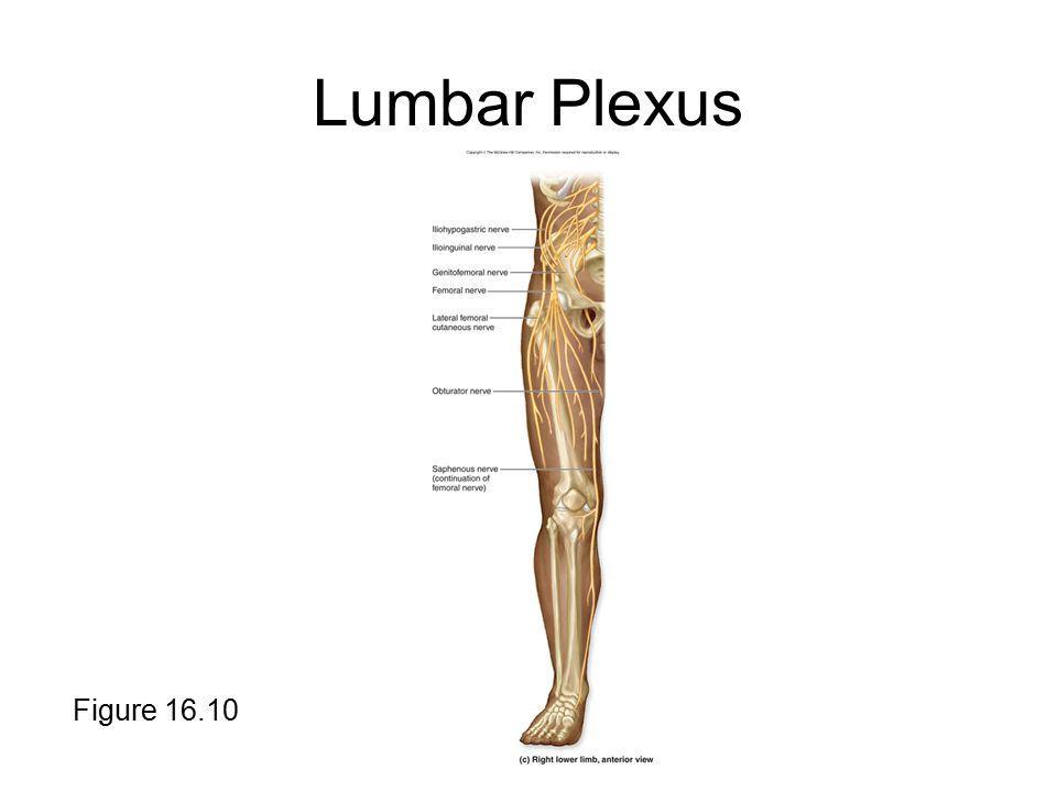 Lumbar Plexus Figure 16.10
