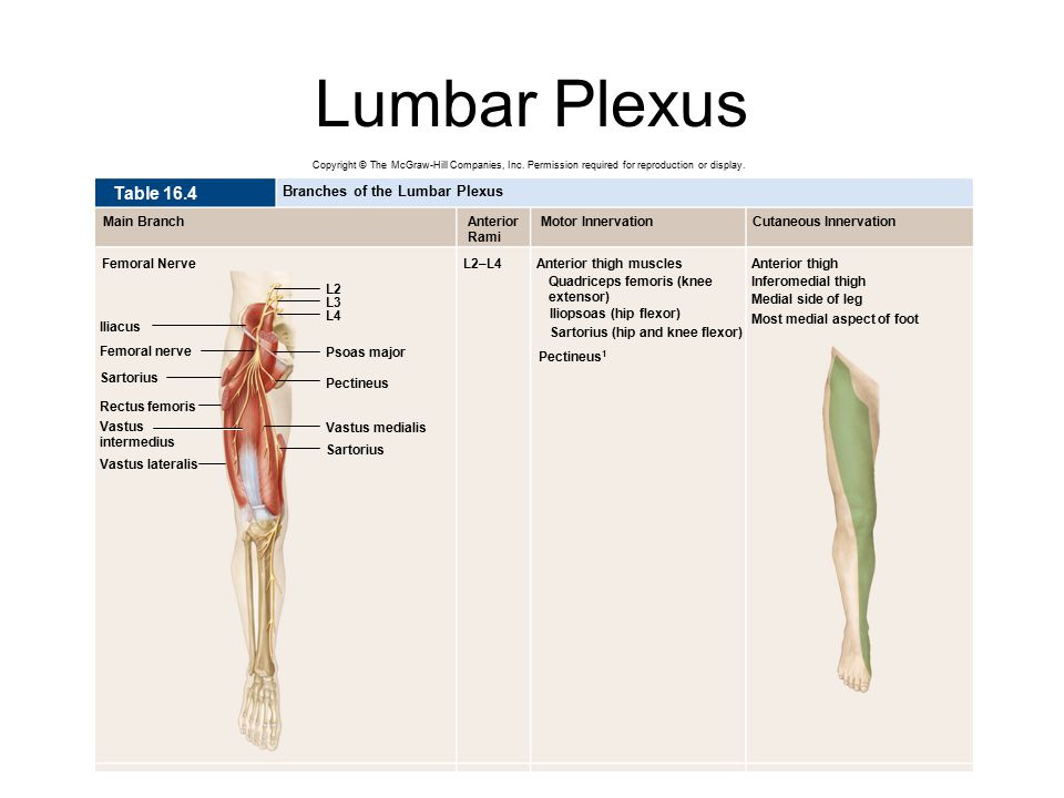 Lumbar Plexus Table 16.4 Branches of the Lumbar Plexus Main Branch