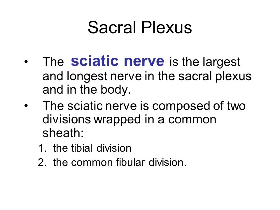 Sacral Plexus The sciatic nerve is the largest and longest nerve in the sacral plexus and in the body.