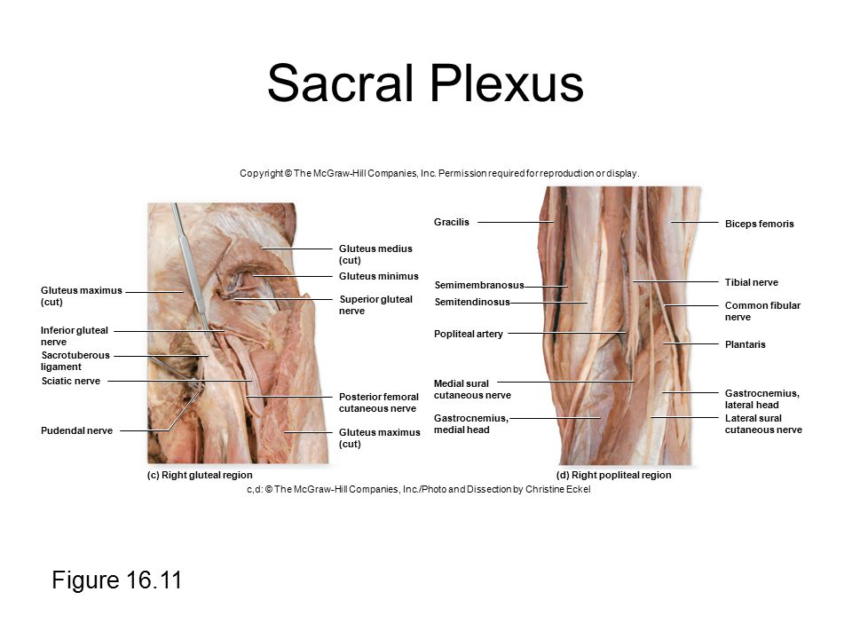 Sacral Plexus Copyright © The McGraw-Hill Companies, Inc. Permission required for reproduction or display.
