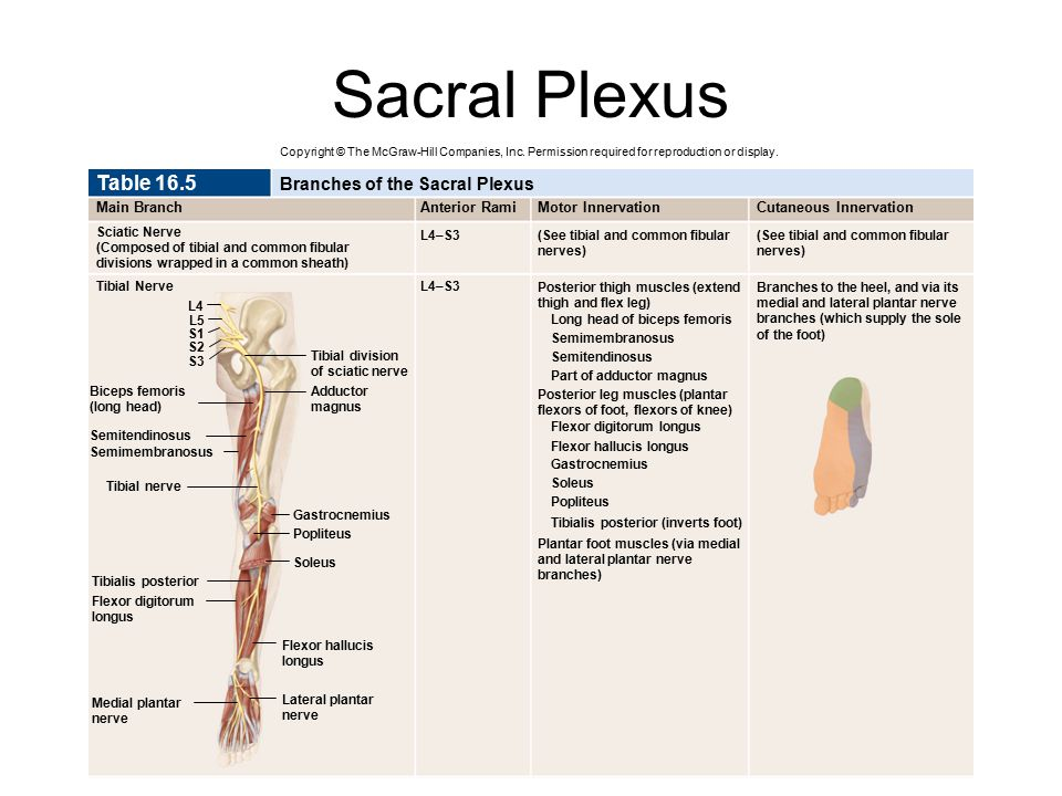 Sacral Plexus Table 16.5 Branches of the Sacral Plexus Main Branch