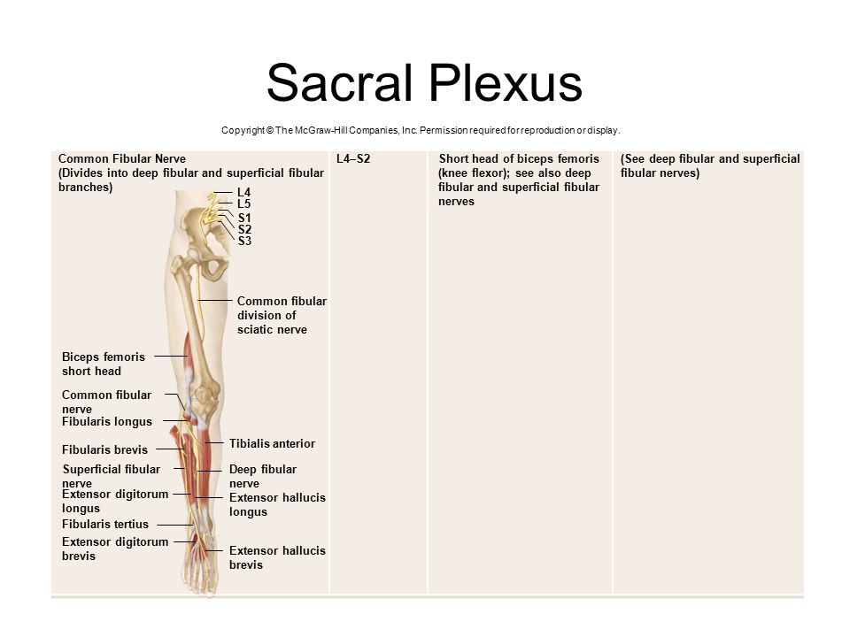 Sacral Plexus Common Fibular Nerve L4–S2 Short head of biceps femoris