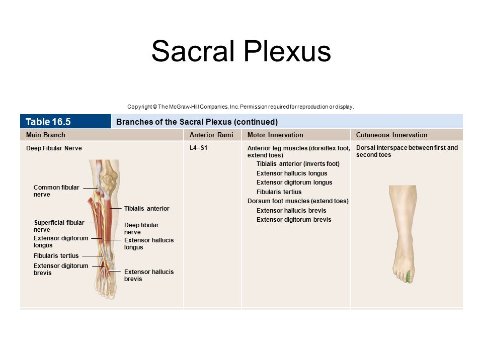 Sacral Plexus Table 16.5 Branches of the Sacral Plexus (continued)