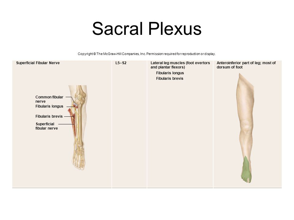 Sacral Plexus Superficial Fibular Nerve L5–S2