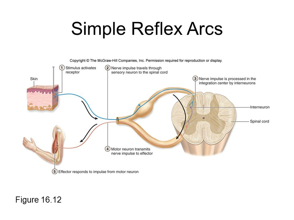 Simple Reflex Arcs Figure 16.12