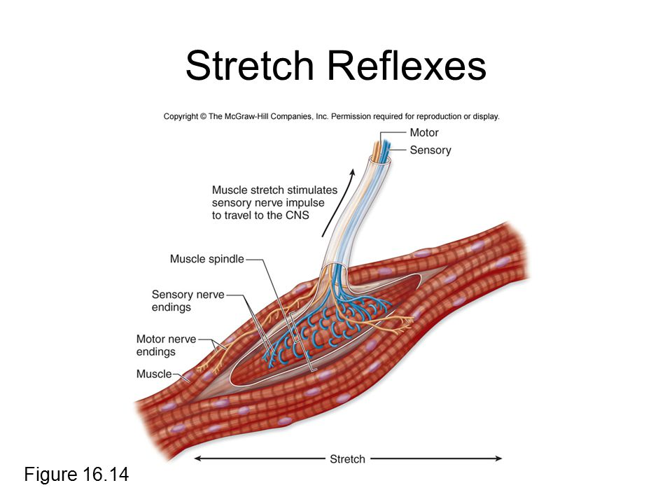 Stretch Reflexes Figure 16.14