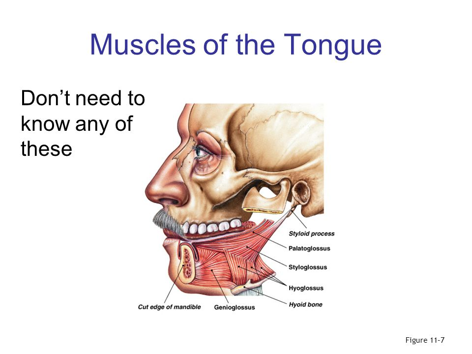 Muscles of the Tongue Don't need to know any of these Figure 11–7