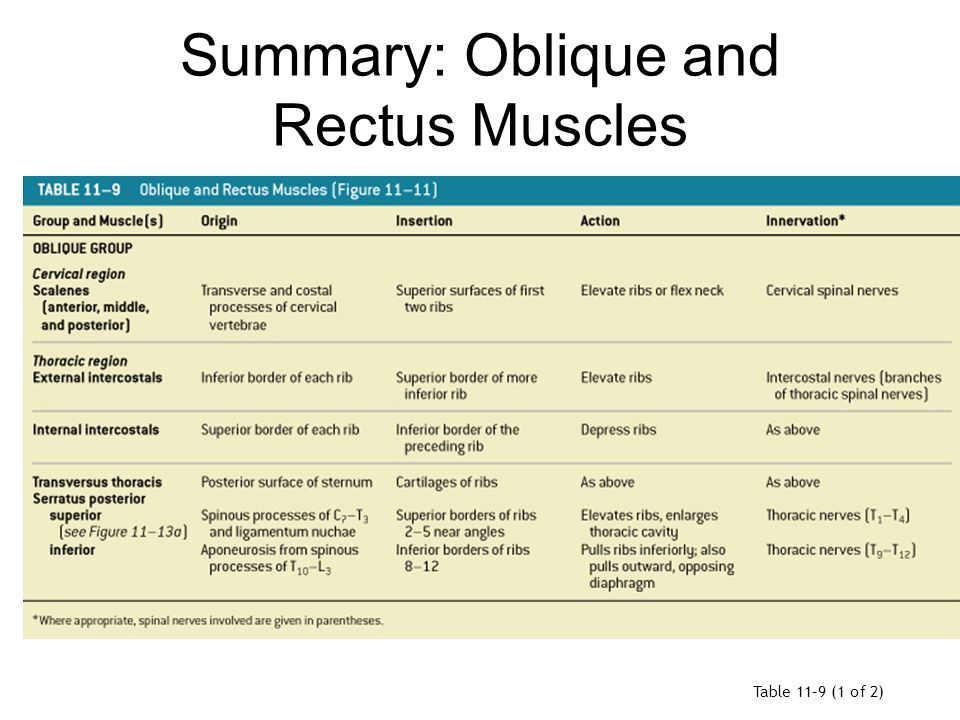 Summary: Oblique and Rectus Muscles