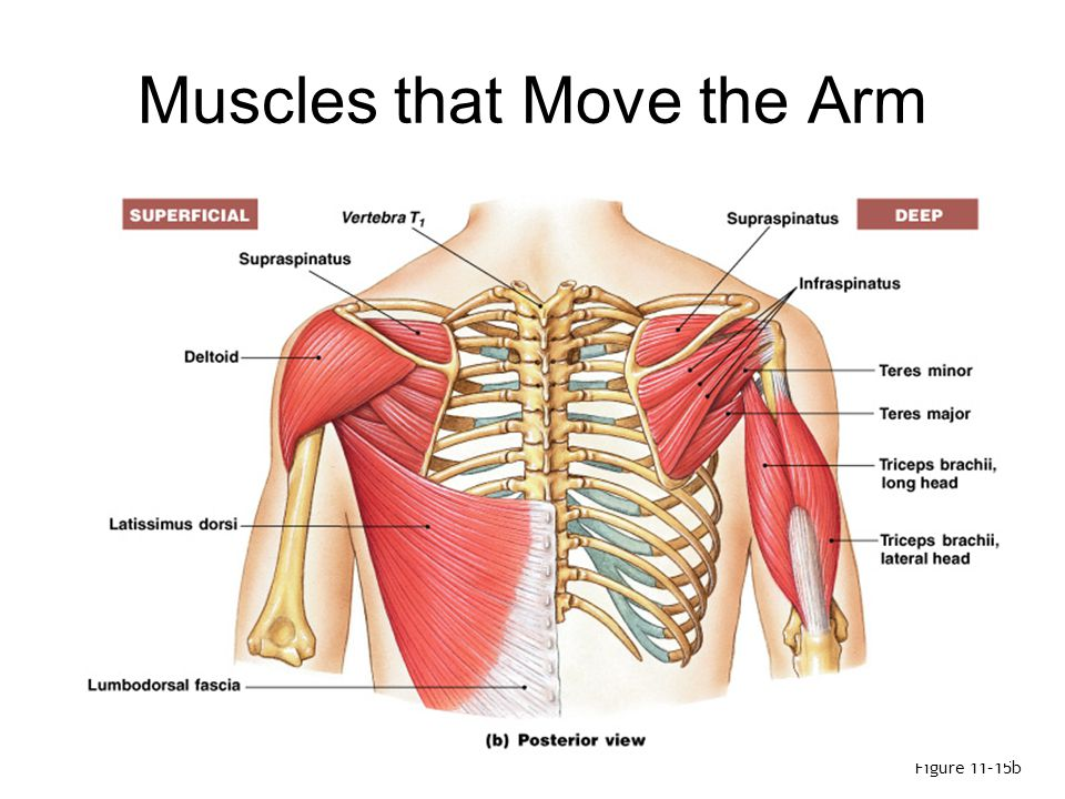 Muscles that Move the Arm