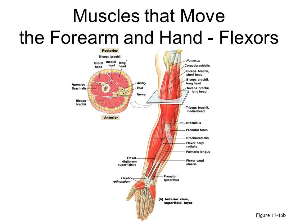 Muscles that Move the Forearm and Hand - Flexors