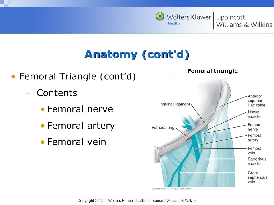 Anatomy (cont'd) Femoral Triangle (cont'd) Contents Femoral nerve