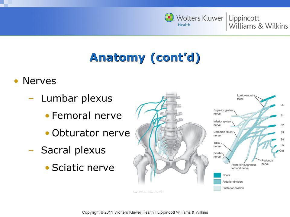 Anatomy (cont'd) Nerves Lumbar plexus Femoral nerve Obturator nerve