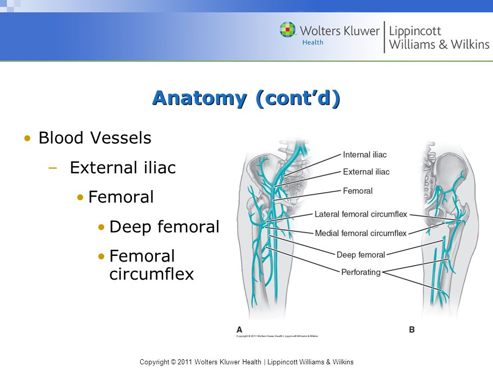 Anatomy (cont'd) Blood Vessels External iliac Femoral Deep femoral