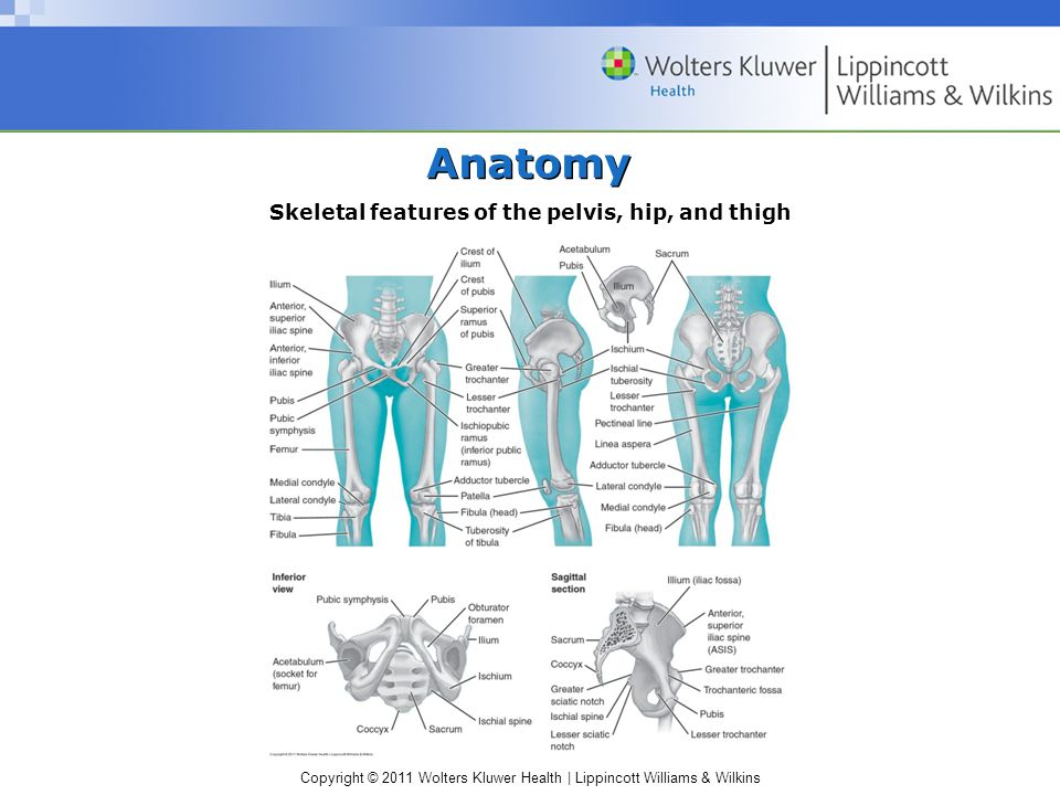 Skeletal features of the pelvis, hip, and thigh