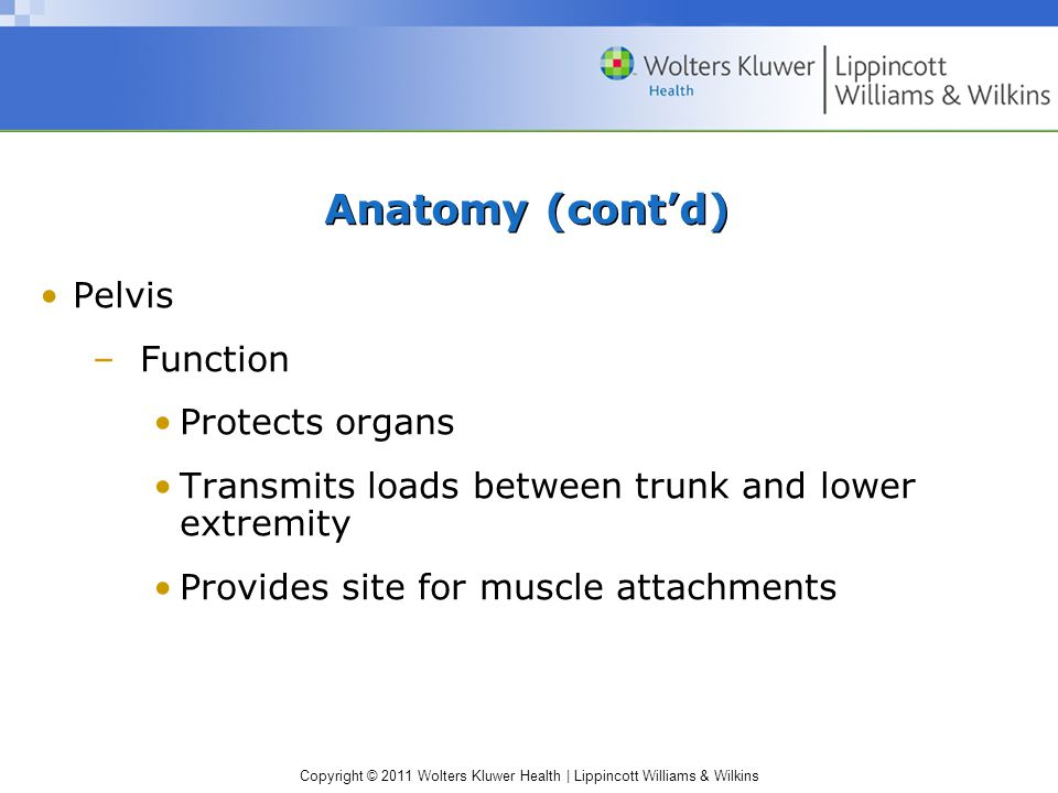 Anatomy (cont'd) Pelvis Function Protects organs
