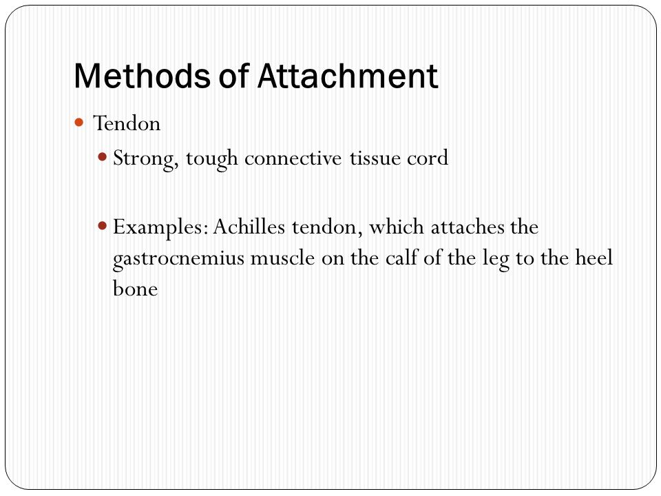 Methods of Attachment Tendon Strong, tough connective tissue cord